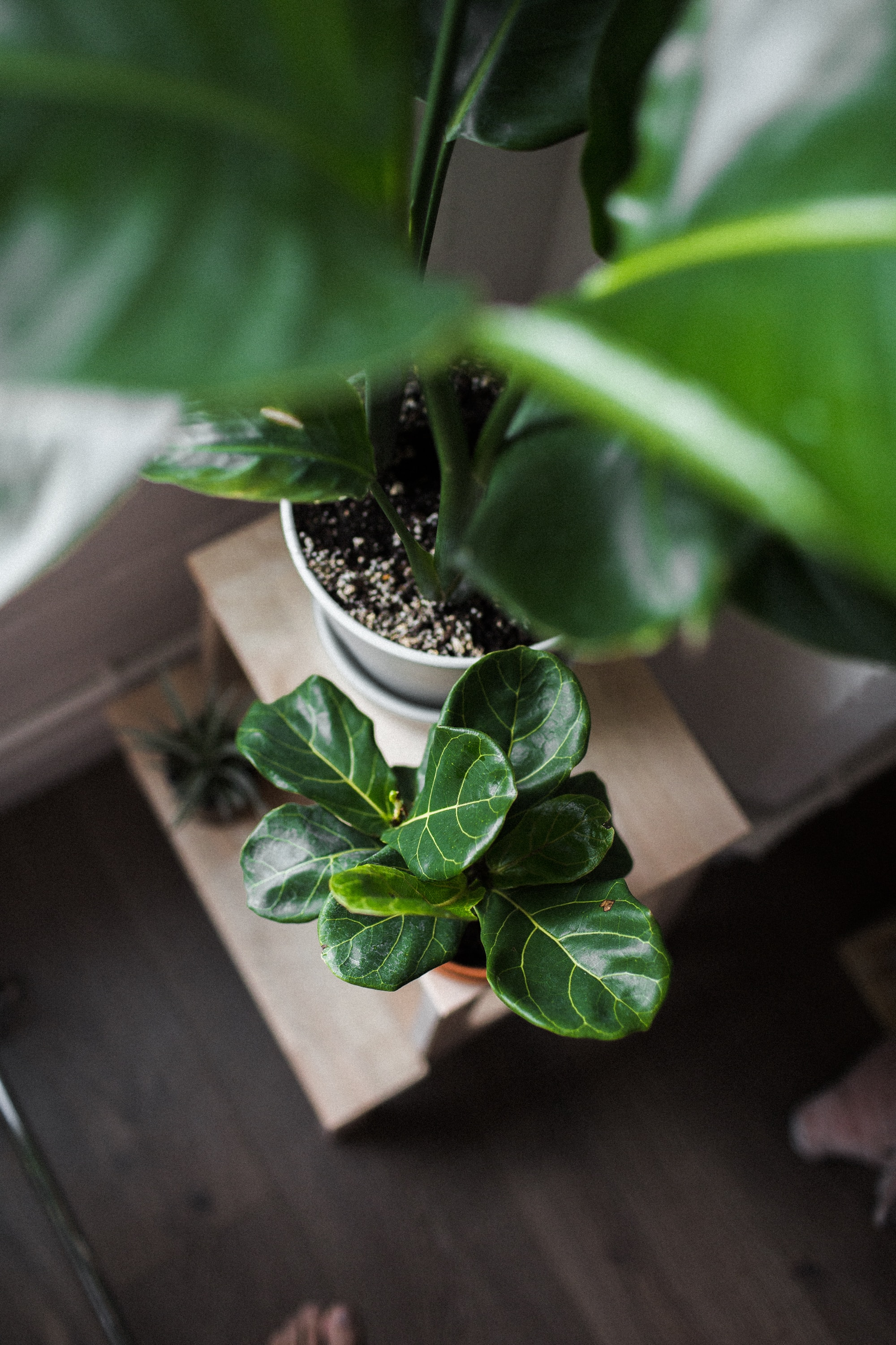 How To Save A Dying Fiddle Leaf Fig Indoor Plant Care,What Colors Go With Light Green Paint